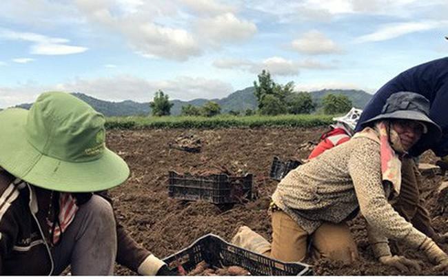 Khoai lang Nhật rớt giá khiến người trồng khốn đốn