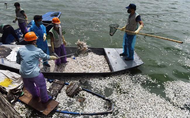 Cá tiếp tục chết thành mảng lớn nổi trắng góc Hồ Tây