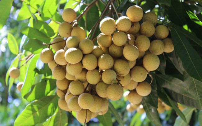 98% nhãn Việt Nam được xuất khẩu sang thị trường Trung Quốc
