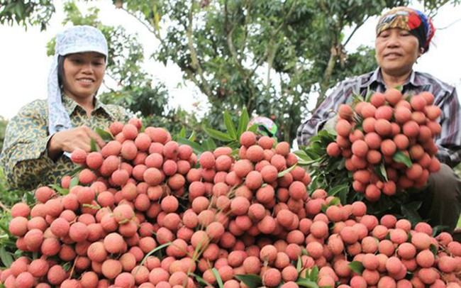 Bắc Giang thu trên 5.700 tỷ đồng vải thiều