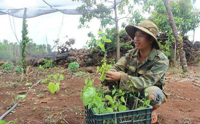 Người dân Đắk Nông kiếm 100 triệu đồng mỗi năm từ rau bò khai
