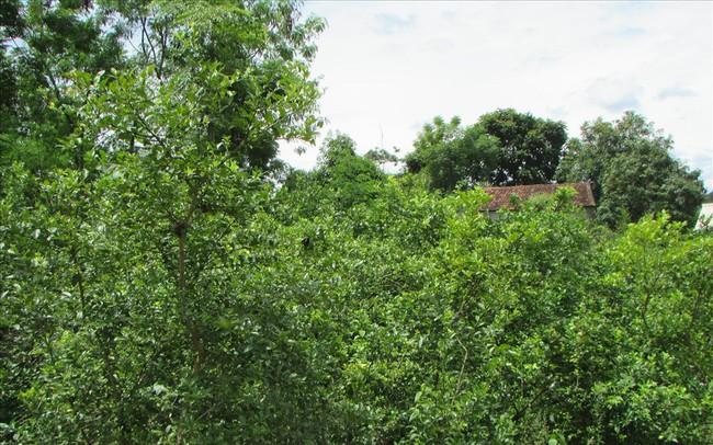 """Mùa chanh """"đắng"""" của nông dân Con Cuông, Nghệ An"""