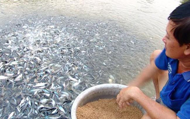 Nuôi cá tra giống tràn lan, nông dân thiệt hại nặng
