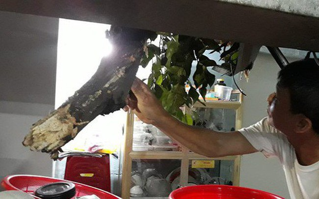 Sau cơn mưa lớn, nhánh cây cổ thụ hơn 50 tuổi tét nhánh đè vào nhà dân ở TP.HCM - ảnh 1