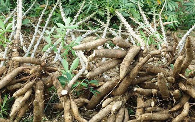 Xuất khẩu sắn và sản phẩm từ sắn sang Hàn Quốc tăng vọt