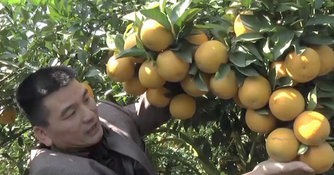 Cây cam quý ra hơn 1000 trái, đạt khoảng 3 tạ ở Nghệ An