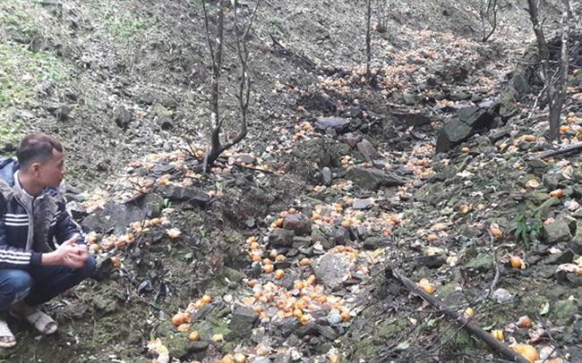 Vùng quýt Bắc Kạn thiệt hại chục tỷ do quả rụng, nhiều hộ dân trắng tay