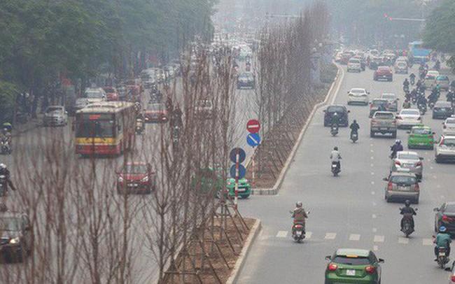 Cận cảnh cây phong lá đỏ mới được trồng trên đường phố Hà Nội