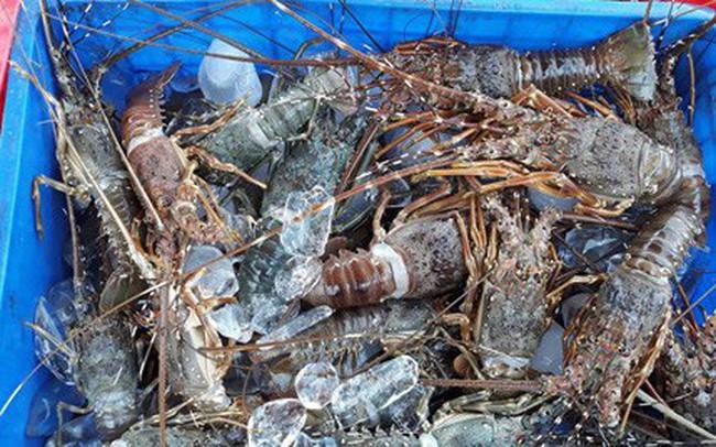 Bão số 9 khiến tôm hùm, cá lồng bè ở Ninh Thuận chết hàng loạt