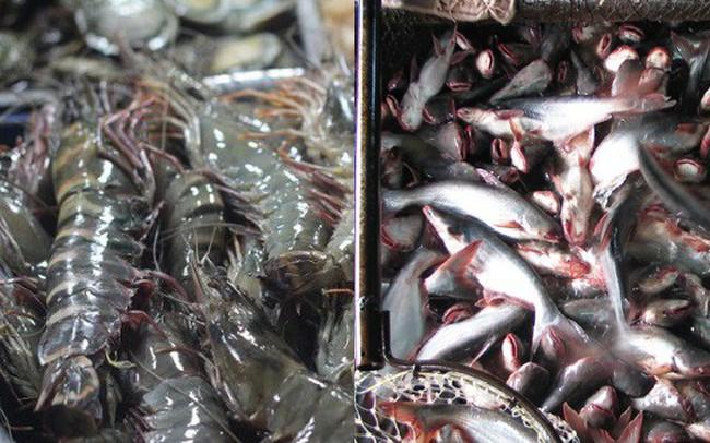 Doanh nghiệp gom đủ hàng, giá cá tra hạ nhiệt, tôm chững lại