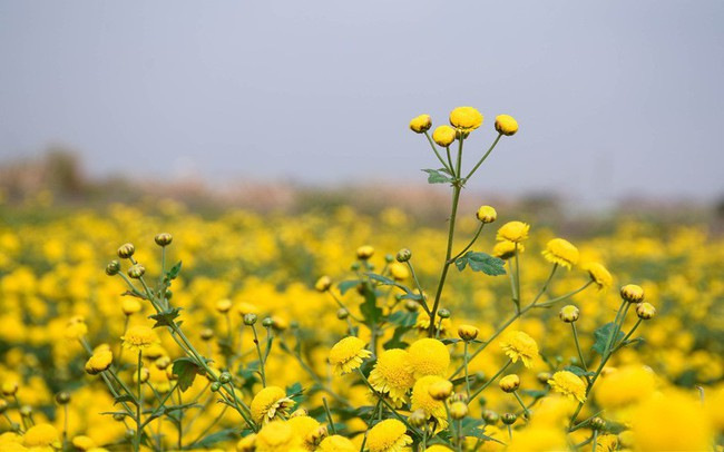 Đẹp mộng mị cánh đồng cúc Hưng Yên, nông dân thu trăm triệu mỗi sào