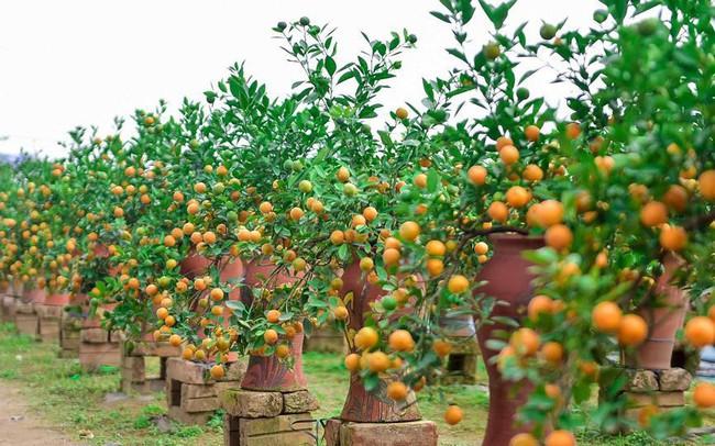 Độc đáo quất bonsai trồng trong bình gốm chơi Tết ở Hà Nội