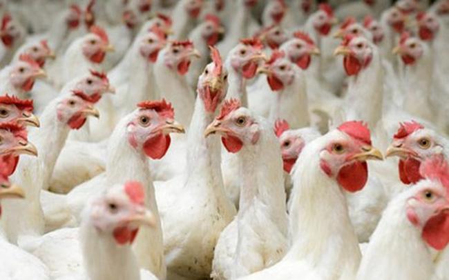 """Lo gà nhập khẩu đánh bật gà nội, Cục trưởng Chăn nuôi nói """"không sợ"""""""