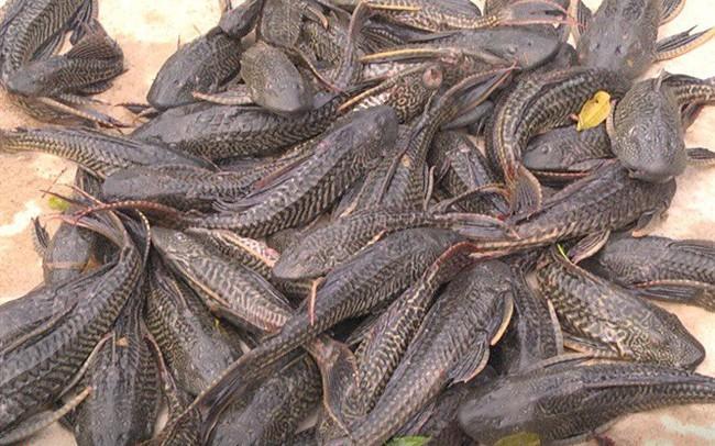 Mối nguy từ cá dọn bể