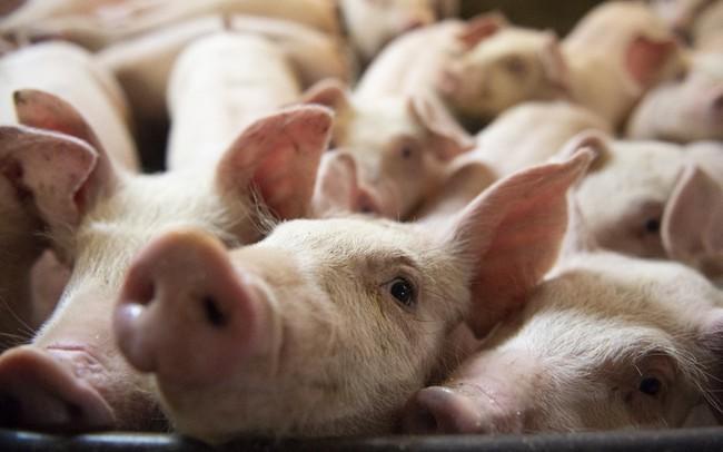 Trung Quốc dự trữ thịt lợn từ bao giờ? Thịt lợn dự trữ có vị như thế nào?