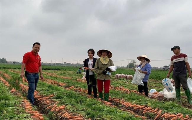 Hải Dương đề nghị hỗ trợ tiêu thụ 20.000 tấn cà rốt ứ đọng