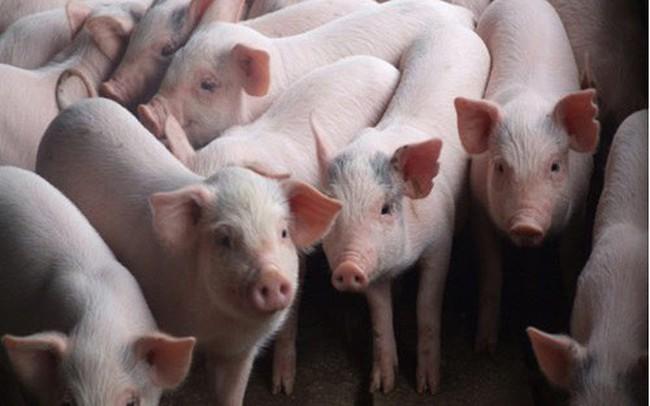 Hà Nội ra công điện khẩn phòng chống dịch tả lợn Châu Phi