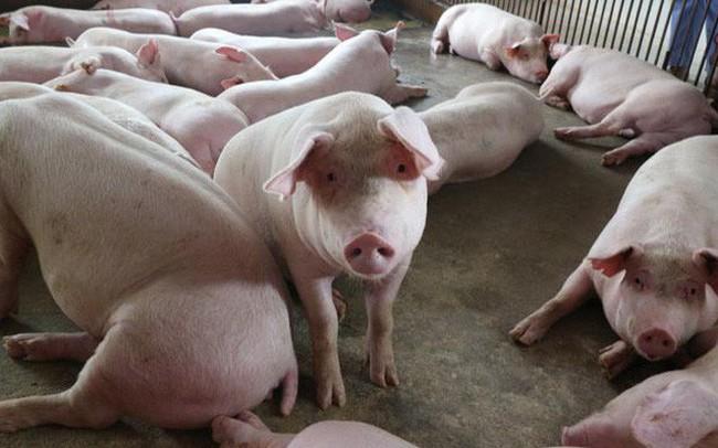 Dịch tả lợn Châu Phi hoành hành: Thương lái ép giá, thịt lợn hơi giảm sâu