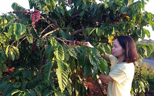 """Cà phê Việt dần """"thất sủng"""" trên đất Mỹ"""