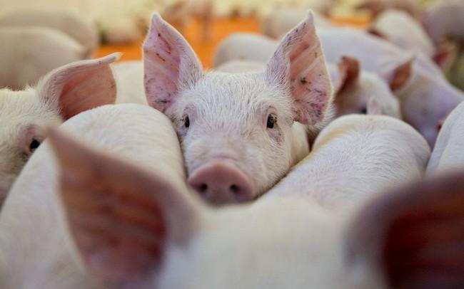 Dịch tả lợn châu Phi đe dọa sự phục hồi của thị trường lợn Việt Nam năm 2019