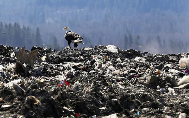 Đại bàng hói, biểu tượng của nước Mỹ, đang đắm mình trong rác ở ngoại ô Seattle