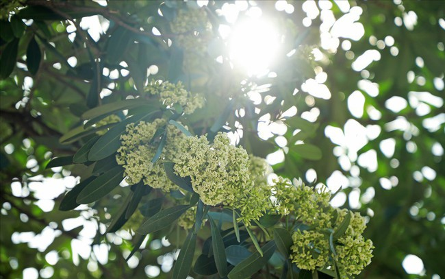 Ngỡ ngàng mùi hoa sữa trái mùa giữa lòng Hà Nội