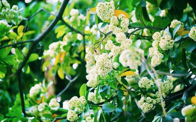 Hà Nội những ngày hoa sữa trái mùa: Nắng đó, nóng đó nhưng cũng lắm tinh khôi!