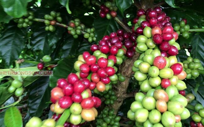 Hạn hán kéo dài, sản lượng cà phê có thể giảm mạnh trong thời gian tới