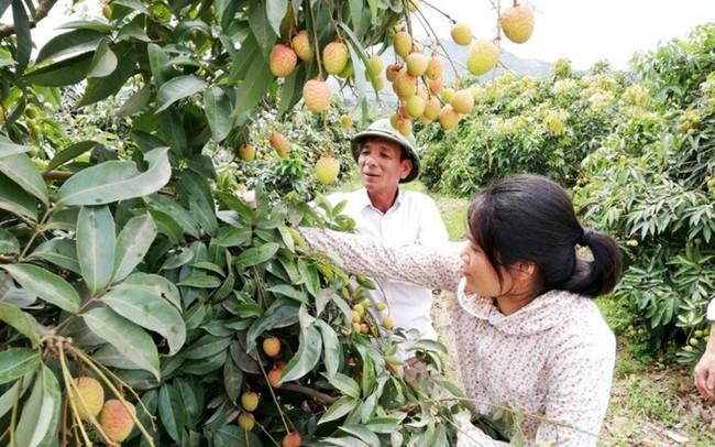 15.300ha vải thiều Lục Ngạn được cấp mã số vùng trồng và tem xuất khẩu - ảnh 1