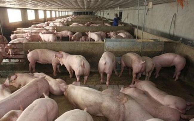 Nhu cầu tiêu thụ chậm, giá thịt lợn hơi tiếp tục giảm mạnh