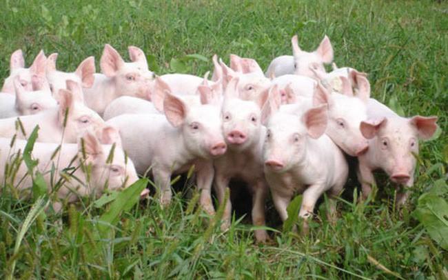 Giá thịt lợn hơi có xu hướng tăng trở lại, cao nhất lên tới 49.000 đồng/kg