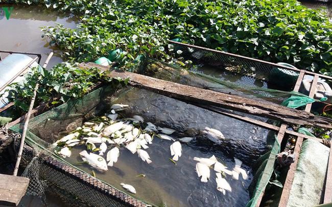Hé lộ nguyên nhân khiến cá lồng, bè ở Tiền Giang chết hàng loạt