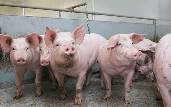 Thủ tướng ban hành quyết định mới về chính sách hỗ trợ dịch tả lợn châu Phi