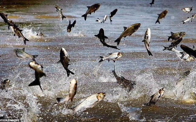 Sao Mai Group (ASM) sắp rót thêm trăm tỷ vào đơn vị sản xuất thức ăn cho cá