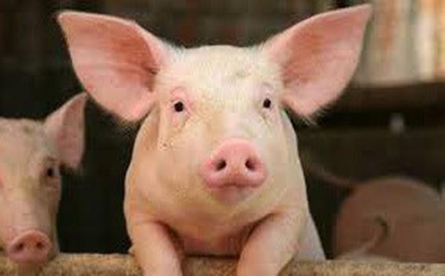 Giá lợn hơi tiếp tục tăng mạnh