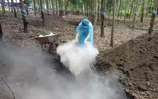Bình Phước: Tiêu hủy hơn 3 tấn heo dương tính bệnh tả heo Châu Phi