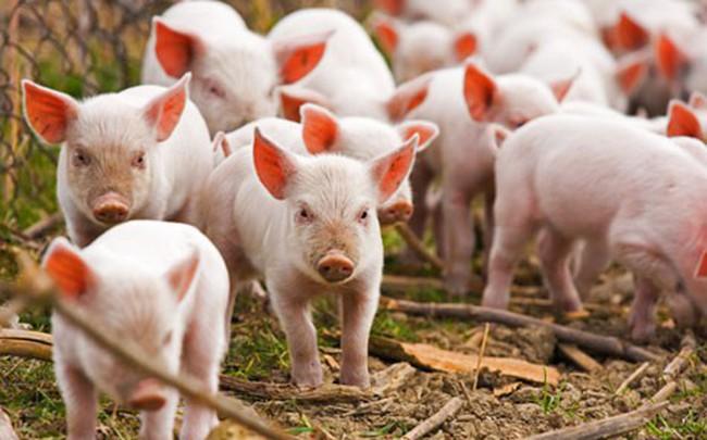 Bộ Nông nghiệp Hoa Kỳ chi 1,7 triệu USD hỗ trợ Việt Nam nghiên cứu chống tả lợn châu Phi - ảnh 1
