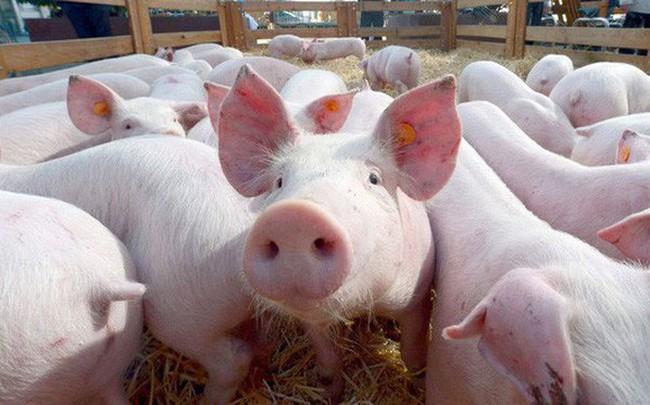 Nguồn cung thiếu hụt, giá lợn hơi sẽ tiếp tục tăng cao