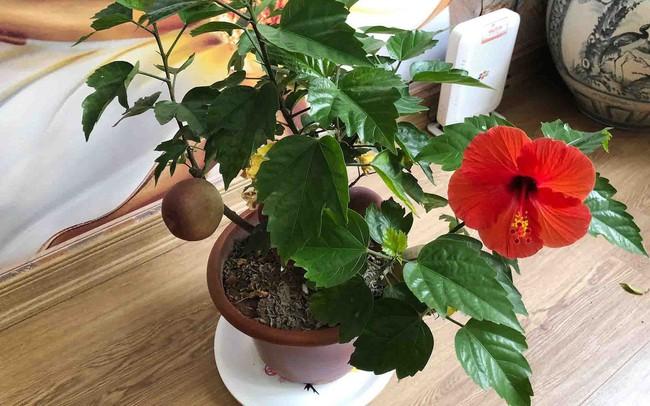 Khách hàng ngã ngửa khi táo bonsai nở hoa... râm bụt