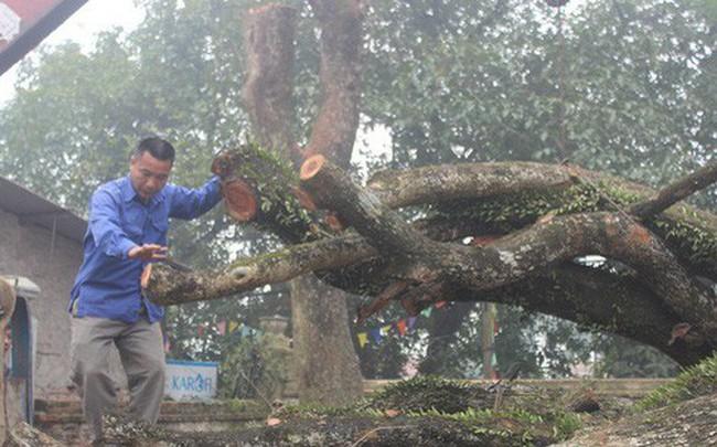 """Đang chặt cây sưa trăm tỷ từng gây """"lùm xùm"""" suốt 8 năm ở Hà Nội"""