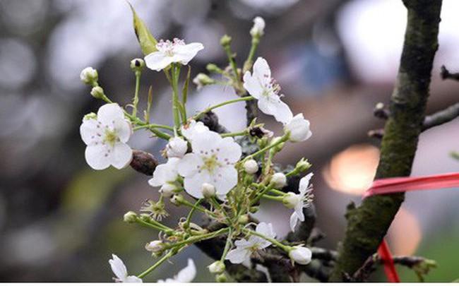 Ngỡ ngàng sắc hoa lê trắng tinh khôi trên đường phố Hà Nội