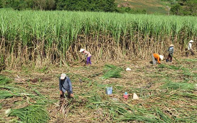 Phú Yên: Nông dân chịu thiệt vì nhà máy 'rào' giá thu mua mía vùng nguyên liệu - ảnh 1