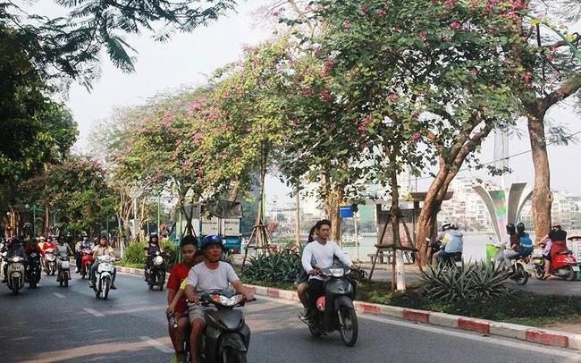 Ngắm hoa ban khoe sắc khắp phố phường Hà Nội