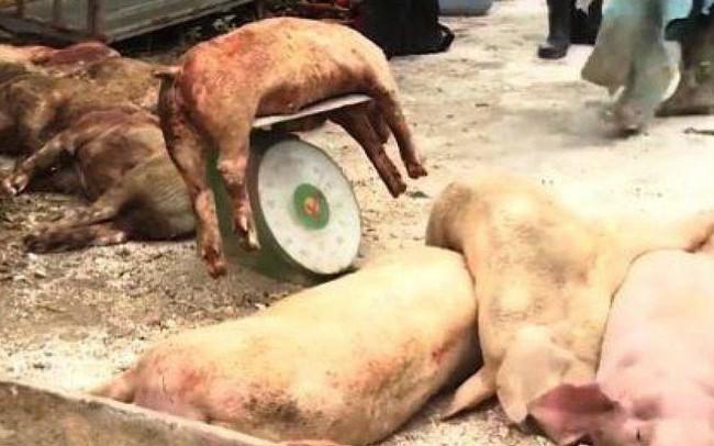 Hải Phòng tiêu hủy hơn 6.000 con lợn mắc dịch tả lợn châu Phi - ảnh 1
