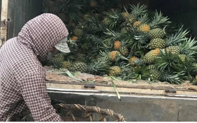 Nông dân xứ Nghệ điêu đứng vì dứa mới vào vụ đã rớt giá thê thảm