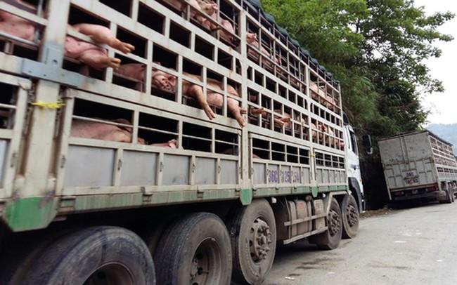 Kết quả hình ảnh cho vận chuyển lợn