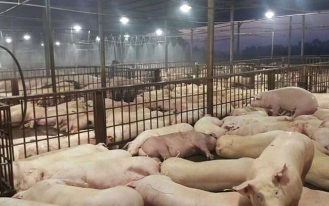 Dịch tả lợn Châu phi xuất hiện ở tỉnh nuôi lợn lớn nhất nước, TPHCM tăng cường giám sát ngăn chặn