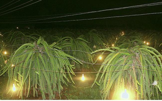 Tăng giá điện, người trồng Thanh Long đứng ngồi không yên