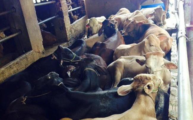 Gia súc lớn sẽ là cứu cánh cho ngành chăn nuôi - ảnh 1