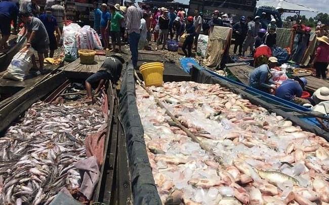 Cá nuôi bè trên sông La Ngà chết hàng loạt